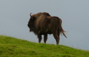 european bison dreams